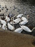 A collection of swans by the water royalty free stock images