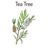 Collection of tea tree. Cosmetics and medical plant. hand drawn. Tea tree Melaleuca alternifolia , or narrow-leaved paperbark - medical plant. Hand drawn Royalty Free Stock Photo
