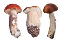 Collection of three isolated edible mushrooms Royalty Free Stock Image