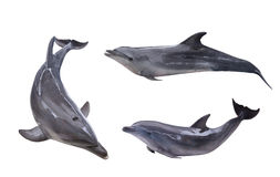 Collection of three isolated grey dolphins Royalty Free Stock Image