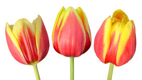 Collection of Three Tulip Flowers Isolated on White. Collection of Three Red and Yellow Tulip Flowers with Green Sticks Isolated on White Background royalty free stock image