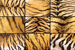 Collection of tiger fur closeups Royalty Free Stock Photography