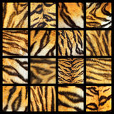 Collection of tiger fur details. Textured of real animal leather for your design, colorful composition Royalty Free Stock Photo