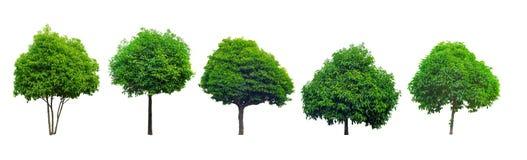 Collection of tree isolated on white background, Mimusops elengi. Asian bulletwood, Bullet wood, Bukal, Tanjong tree, Medlar, Spanish cherry Stock Photos