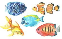 A collection of tropical fish painted with watercolor. Illustrations of marine inhabitants on a white background. A set of isolated drawings. Undersea world Stock Photos