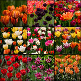 Collection of tulips Stock Photo