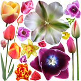 Collection of tulips heads Royalty Free Stock Image