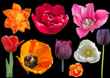 Collection of tulips isolated on white background. Orange, red, pink, white, burgundy and black tulips isolated on a black background Royalty Free Stock Photography