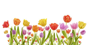 Collection of Tulips. Spring tulips on white background Royalty Free Stock Photography