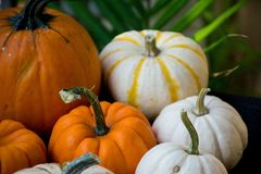 Collection. Variety of pumpkins ready for celebration of Thanksgiving and Harvest Festival stock photo