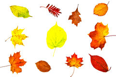 Collection of various autumn leaves. Multiple types of colorful autumn leaves on white background Stock Image
