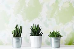 Collection of various cactus and succulent plants in different pots. Potted cactus house plants on white shelf against design wall. Collection of various cactus Royalty Free Stock Image