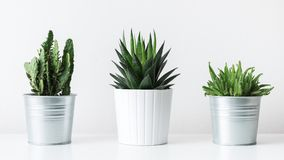 Collection of various cactus and succulent plants in different pots. Potted cactus house plants on white shelf. Collection of various cactus and succulent Stock Images