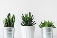 Collection of various cactus and succulent plants in different pots. Potted cactus house plants on white shelf. Collection of various cactus and succulent Stock Image