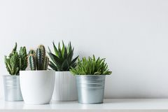 Collection of various cactus and succulent plants in different pots. Potted cactus house plants on white shelf with copy space. Collection of various cactus and Stock Images