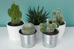 Collection of various cactus and succulent plants in different pots. Potted cactus house plants on white shelf on teal wall. royalty free stock photo