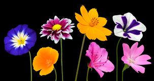 Collection of Various Colorful Flowers Isolated on Black Royalty Free Stock Photography