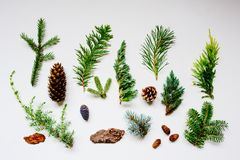 Collection of various conifers and its cones on white backround. Set of juniperus, thuja, picea, abies, and pinus on white background. Botanical evergreen flat royalty free stock images
