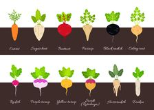 Collection of various growing root vegetables royalty free illustration
