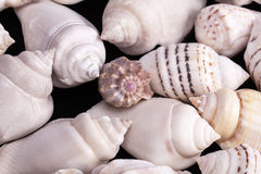 Collection of various kinds of sea shells on black background. Royalty Free Stock Image