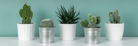 Collection of various potted cactus house plants on white shelf against pastel turquoise colored wall. Cactus plants banner. royalty free stock images