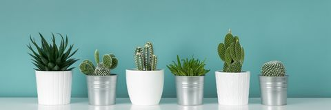 Collection of various potted cactus and succulent plants on white shelf against pastel turquoise colored wall.House plants banner.