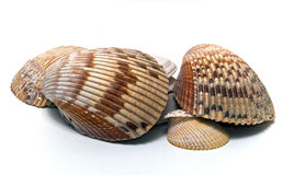 Collection of various sized seashells over white Royalty Free Stock Photo