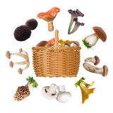 Collection of various species edible mushrooms and basket Royalty Free Stock Photo