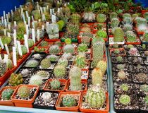 Succulents and cactus Mammillaria bocasana, Mammillaria plumosa, Astrophytum asterias, Gymnocalycium, etc. at flower market stock photo