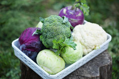 Collection of various types of cabbage Royalty Free Stock Photos