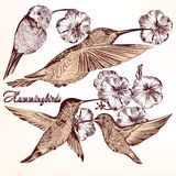 Collection of vector hand drawn hummingbirds for design. Vector set of detailed hand drawn birds for design Royalty Free Stock Images