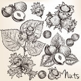 Collection of vector high detailed hand drawn nuts in engraved s. Tyle Royalty Free Stock Photos