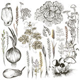 Collection of vector vegetables and plants in old style Royalty Free Stock Image