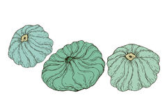 Collection vegetables patisson  on white background. Vector hand drawn illustration of  pattypan, squash for adult and childrenart coloring book, art page Royalty Free Stock Photography