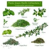 Collection verte fraîche 1 d'herbes - peintures d'aquarelle Photographie stock