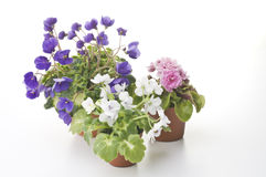 Collection of violet flowers in the pots Stock Photo