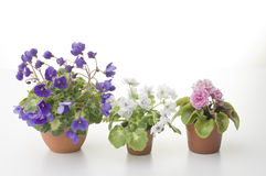 Collection of violet flowers in the pots Stock Photos
