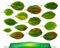 Collection of vivid green bright leaves. Set of summer leaves on a white background. Plants on isolated white background Royalty Free Stock Photo