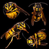 Collection of Wasps in black Stock Images