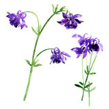 Collection of watercolor aquilegia flowers Stock Photography