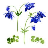 Collection of watercolor aquilegia flowers Stock Photos