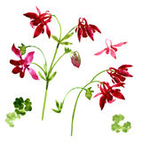 Collection of watercolor aquilegia flowers Royalty Free Stock Photo