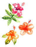 Collection of watercolor hibiscus flowers Stock Image