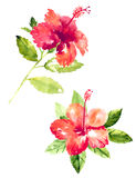 Collection of watercolor hibiscus flowers Royalty Free Stock Photography