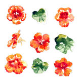 Collection of watercolor nasturtium flowers Royalty Free Stock Image
