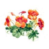 Collection of watercolor nasturtium flowers Stock Image