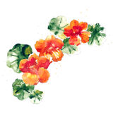 Collection of watercolor nasturtium flowers Stock Images