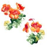 Collection of watercolor nasturtium flowers Stock Photo