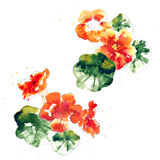 Collection of watercolor nasturtium flowers Royalty Free Stock Photos