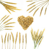 Collection of wheat ears Royalty Free Stock Photo